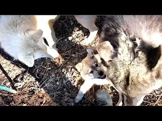 Волк Акела и Волэнд Алита жестко играют с щенком. Собираю Шерсть с Волка. Звери помогают сеять.