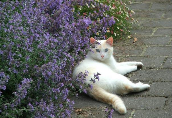 Котовник Котовник (Nepeta) представляет собой невысокий декоративный кустарник, который обладает ярко выраженным ароматом и относится к семейству Губоцветные. Имеется большое количество