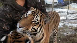 С Новым годом , Тигры !Happy New Year ,Tigers !)