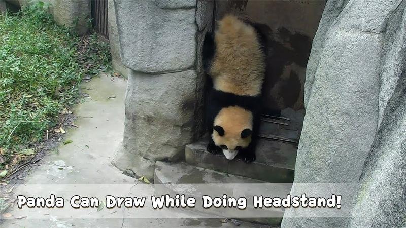 Panda Can Draw While Doing Headstand iPanda