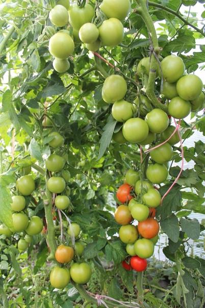 Активность корневой системы томатов Выращивание томата на малообъемных субстратах приводит к формированию корневой системы, обладающей весьма своеобразными характеристиками. Корневая система,