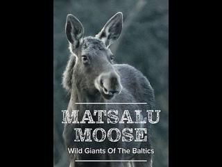 Матсалукские лоси. Гиганты Прибалтики / Matsalu Moose - Wild Giants of the Baltics (2019)