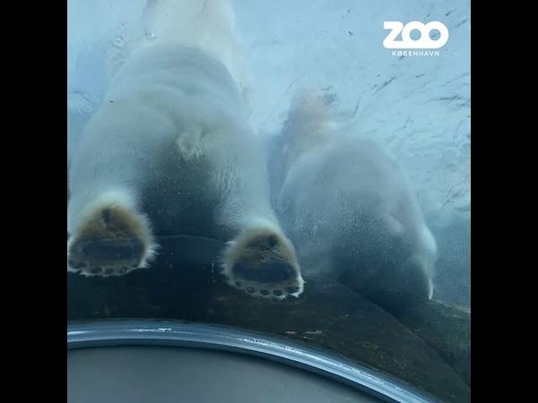 Isbjørn laver vandgymnastik