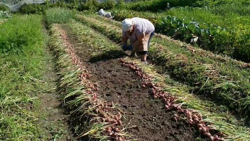 Во саду ли, в огороде... Урожай лука. Деревенские зарисовки. Последний день лета, 2019