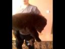 Девочка черная,ТМ шоу класс,2 месяца,крупная,высокая,широкая,в львином типе,продается