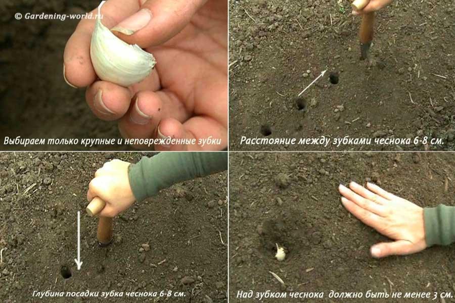 Как сажать озимый чеснок осенью