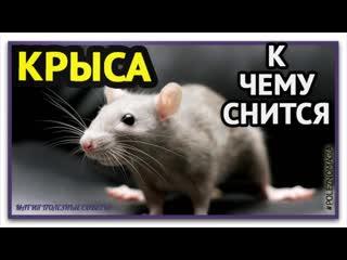 К чему снятся крысы по соннику. Толкование снов про крыс. Сонник Крыса.Если снится мышь