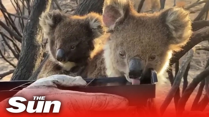 Firefighters give water to thirsty baby koala and mother on Kangaroo Island, Australia
