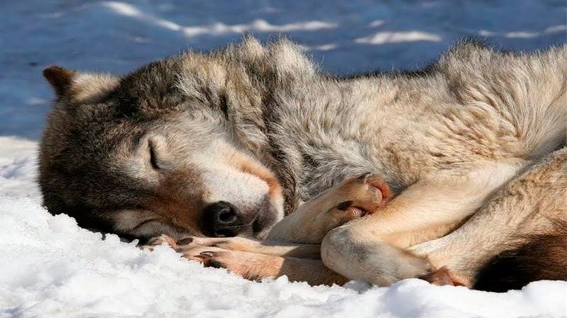 Dieser wilde Wolf bat einen Tierarzt um Hilfe Er konnte nicht glauben was er danach erlebte