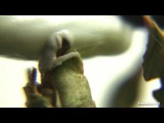Ghost Mantis lays an ootheca (Phyllocrania paradoxa)