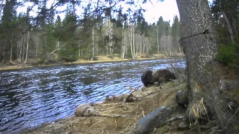 Драка медведей не поделивших лося