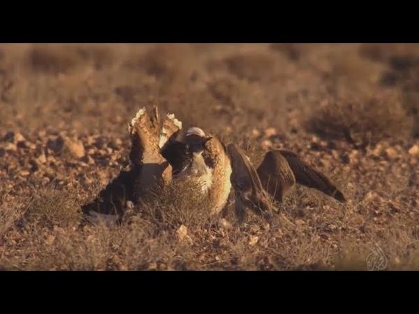 ОЧЕНЬ КРУТОЕ ВИДЕО Охота с СОКОЛОМ БАЛОБАН лат Falco cherrug hunting with a falcon