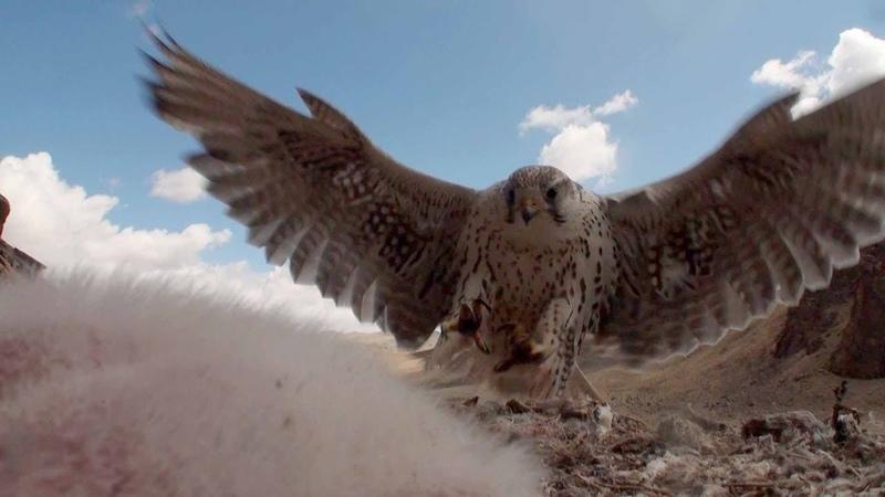 СОХРАНИТЬ сокола балобана Алтай Птицы Сибири Saker falcon in the wild