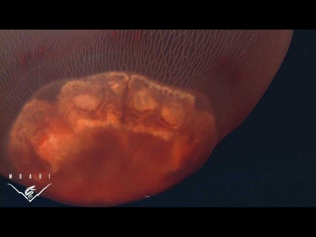Deepstaria Reticulum and Deepstaria Enigmatica