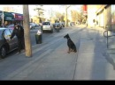 Queens N.Y. Doberman Pincher great dog, trained to working off leash in traffic