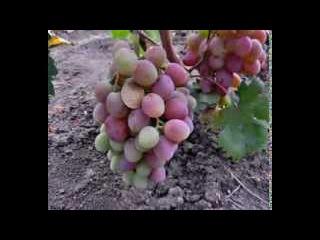 Сорта винограда 2013