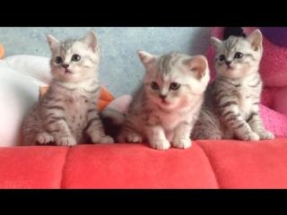 Котятки - Шотландские остроухие ...