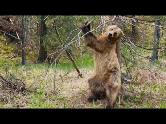 Bear dancing to The Pussycat Dolls Planet Earth II Trailer BBC One