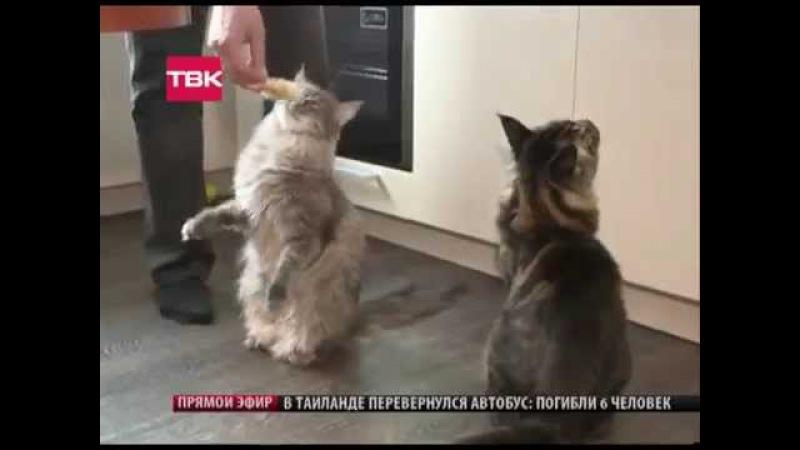 Мейн куны питомника Shaula Pride новости ТВК Красн
