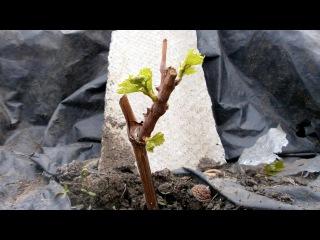 Виноград. Формировка молодого куста весной
