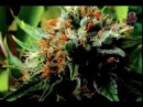 Что если марихуана лечит рак 2010 Русская озвучка Конопляное масло