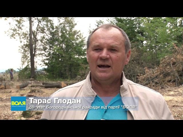 На Богородчанщині рубають дуби, які ще не досягли віку стиглості (фотовідео)