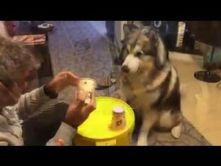 Очень умный пес (Аляскинский маламут)