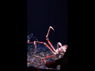 Океанариум. Гигантский краб