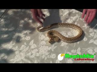 """Темный тигровый питон """"гипо"""" python molurus bivittatus hypo св2017"""