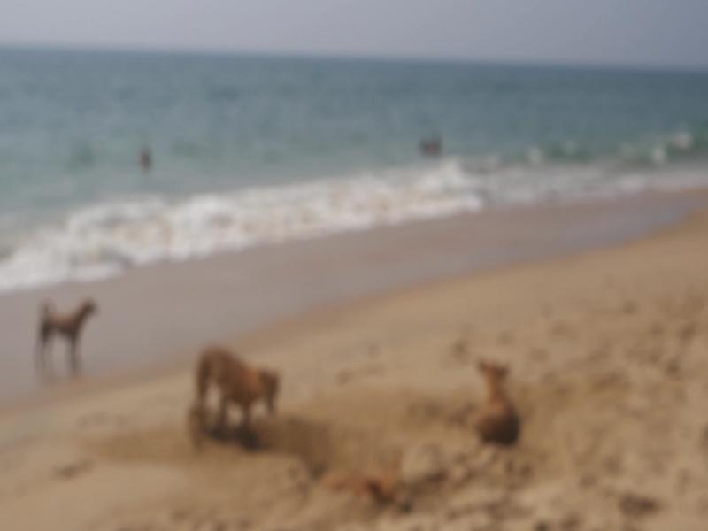 Собаки роют себе норы на пляже Варкалы
