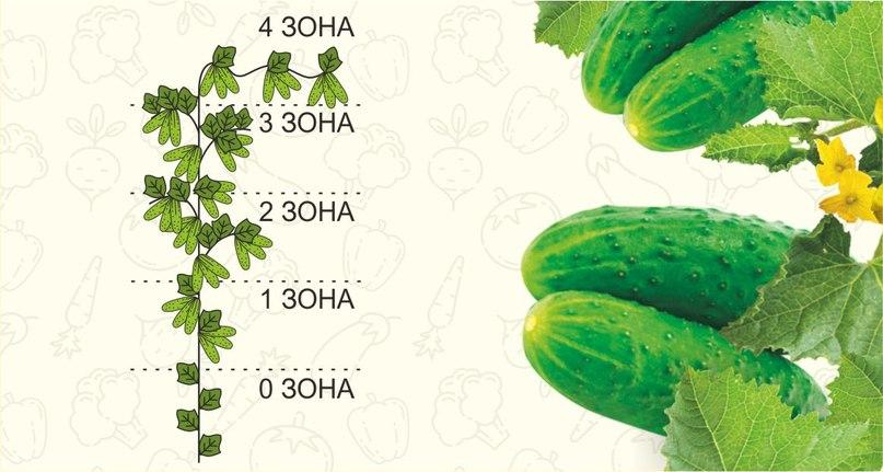 Для дружного урожая: как правильно формировать куст у пучковых огурцов?, изображение №2