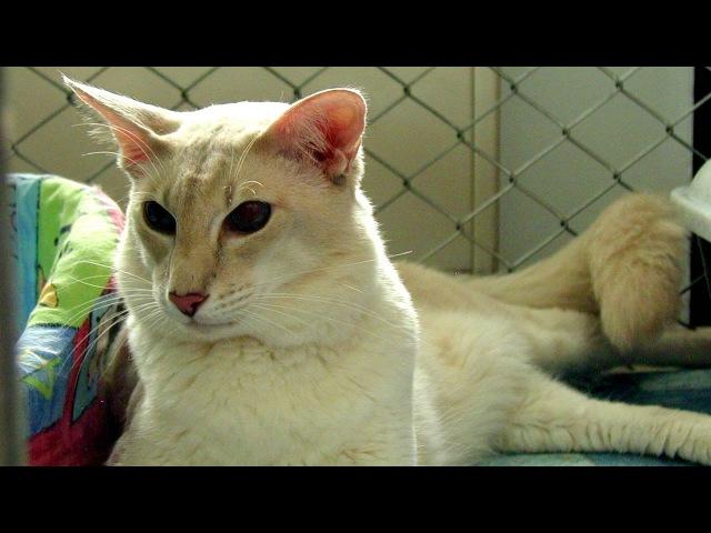 Порода кошек Яванская кошка Почему именно Яванская Это узнаете в самом видео