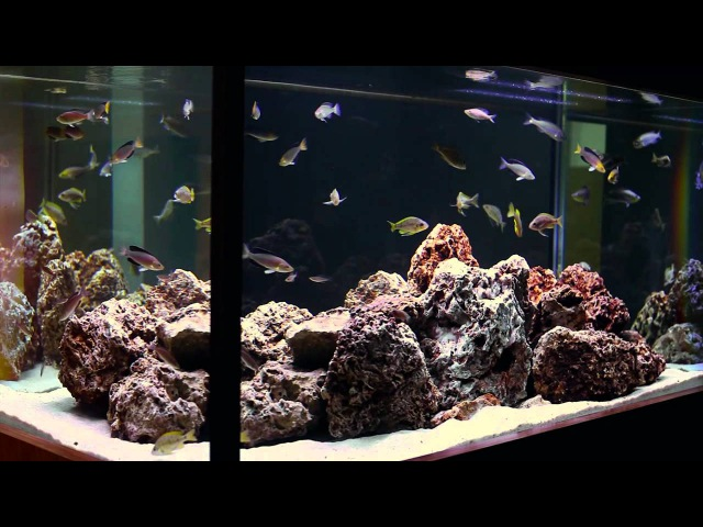Simple Beauty of Tanganyikan Fish A Hardscape by Aquarium Design Group