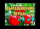 Выращивание перца от А до Я Рассада перца Выращивание перца в открытом грунте