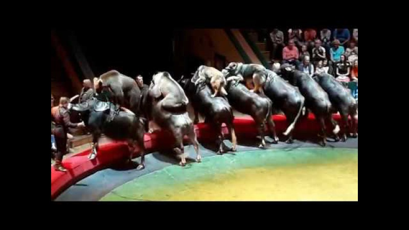 все фото цирка медведи на буйволах далеко всегда