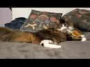 Какой породы кот Мурлок Тайна происхождения пушистого жирлока.