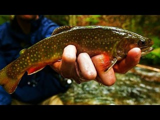 Brook Trout HEAVEN - Small Stream Fly Fishing w/ Streamers