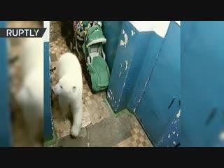 На Новой Земле белый медведь забрёл в подъезд дома