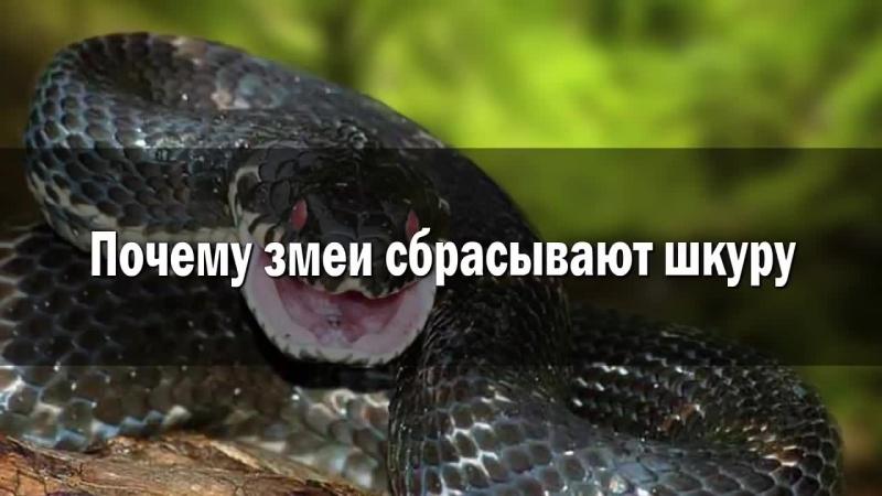 Змея и шкура