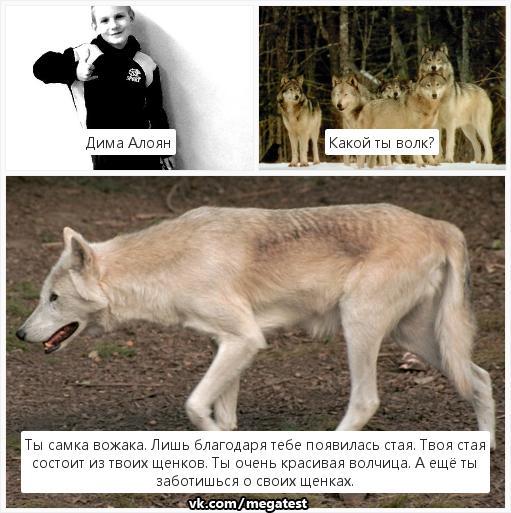 Тесты про волков в картинках