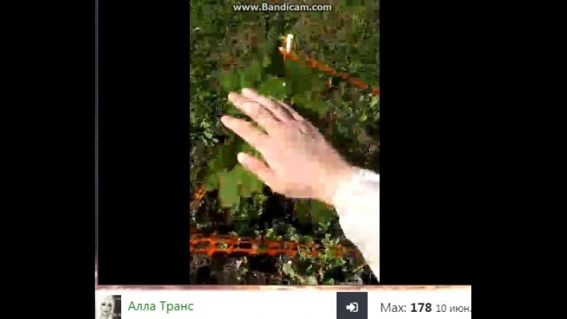 деревья аллы транс