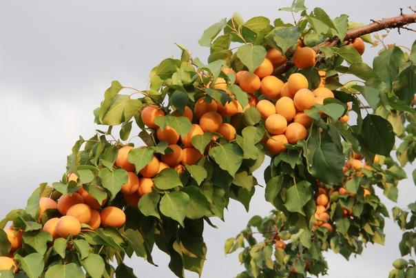 сорта абрикосовый рай картинки этом стоит превращать
