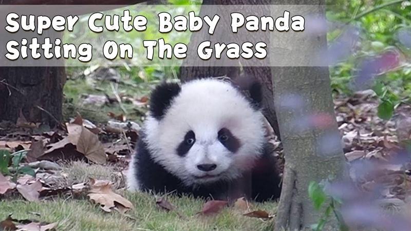 Super Cute Baby Panda Sitting On The Grass | iPanda