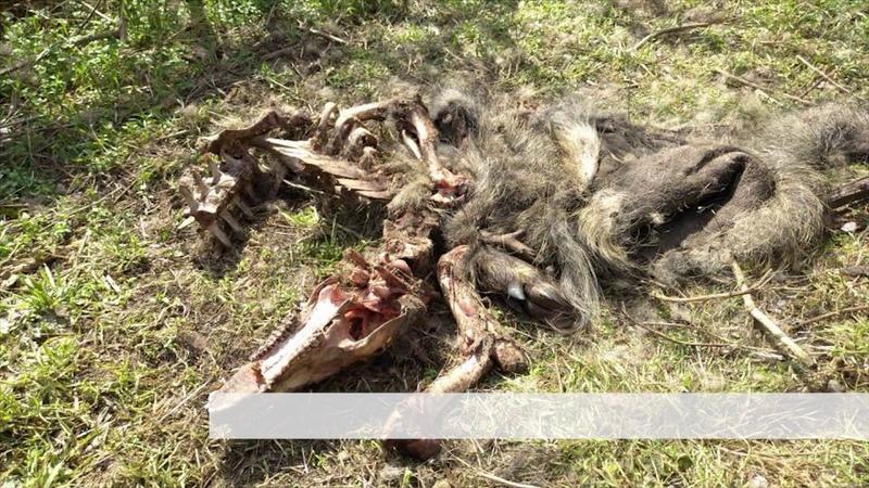 На Хортиці виявили вогнище африканської чуми свиней