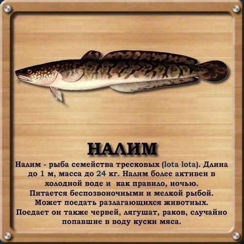 Рыба налим фото и описание приготовление