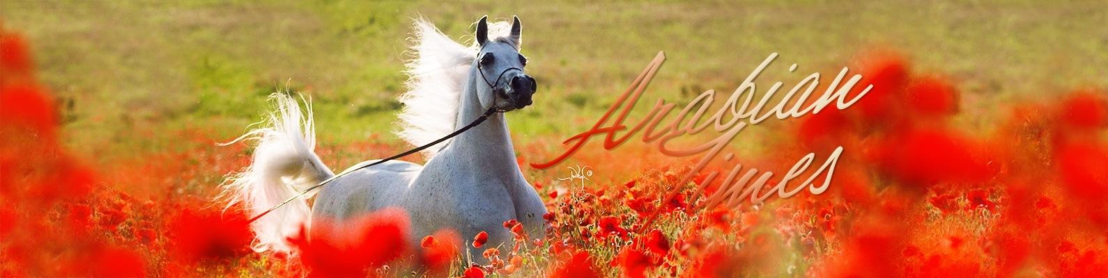 171 Arabian Times арабские лошади Vk
