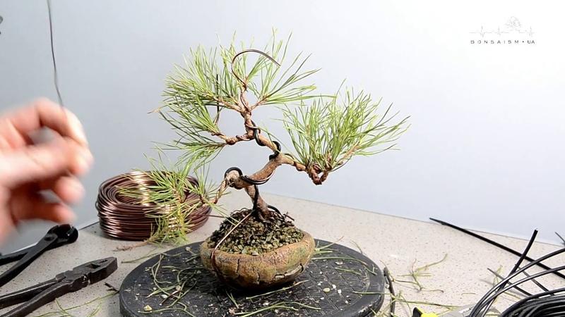 Формирование пре-бонсай из сосны обыкновенной. The first styling of pinus sylvestris pre-bonsai