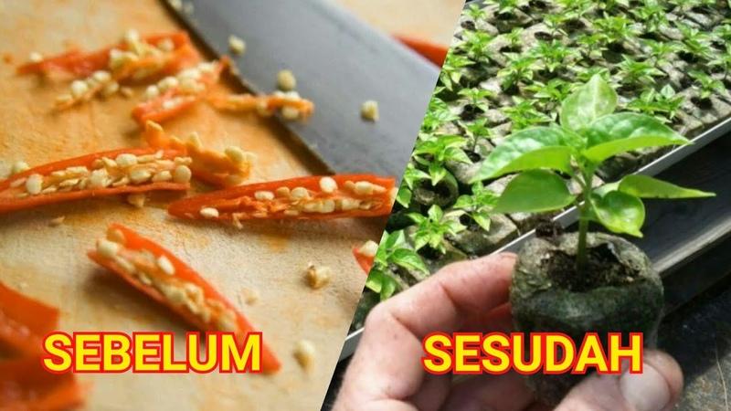 Cara Semai Cabe Rawit Anti Gagal Hanya 2 Hari Sudah Tumbuh Daun Tanam Setelah Sprout