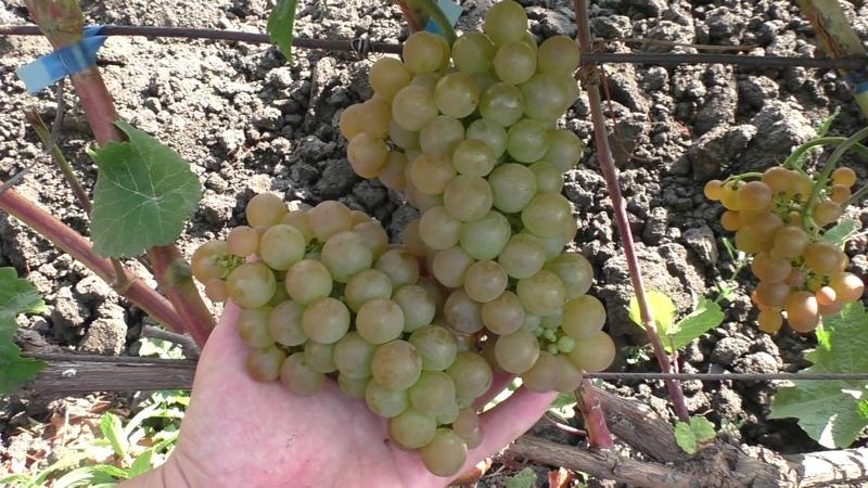 Платовский виноград универсального назначения