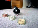 Pet pigeon Elmo and the food experiment
